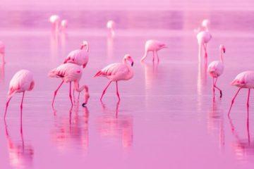 el color rosa de los flamencos
